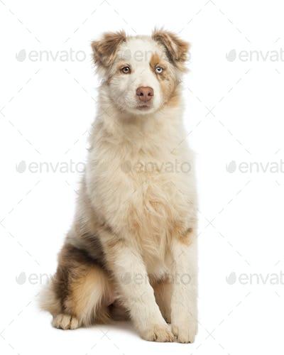 Australian Shepherd puppy sitting, isolated on white