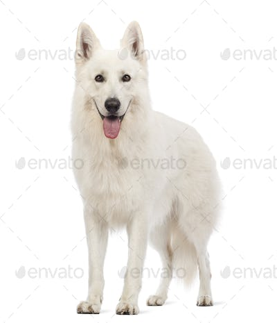 Swiss Shepherd dog, 5 years old, panting and looking at the camera in front of white background