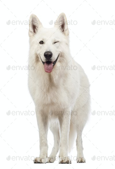 Swiss Shepherd dog, 5 years old, panting and winking, blinking in front of white background