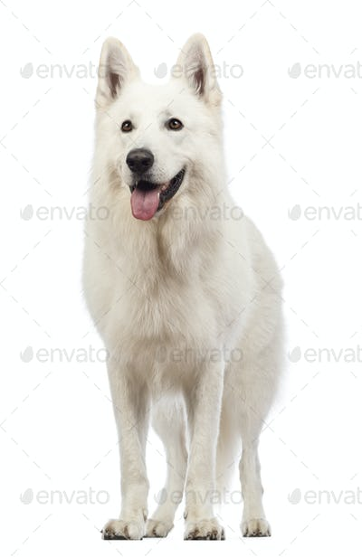 Swiss Shepherd dog, 5 years old, panting and looking away in front of white background