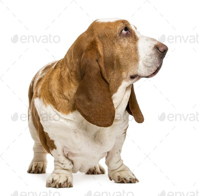 Basset Hound standing and looking right, isolated on white
