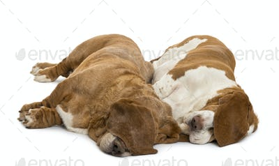 Two Basset Hounds lying and sleeping with their ears hiding their eyes, isolated on white