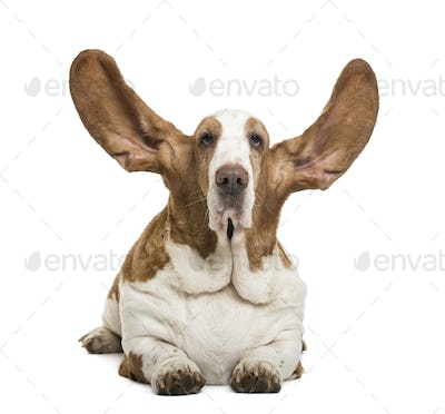 Basset Hound lying with ears up and looking at the camera, isolated on white