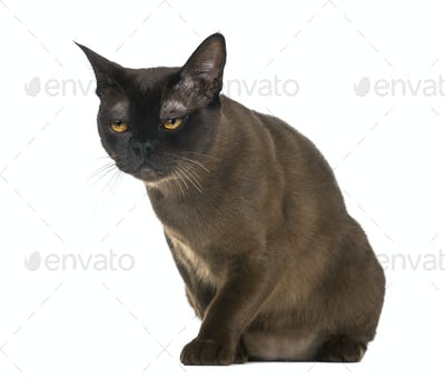 Exhausted Bombay cat sitting, isolated on white