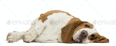 Basset Hound lying, isolated on white