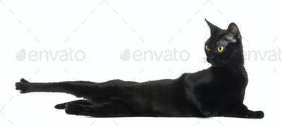 Bombay cat lying, stretching and looking away, isolated on white