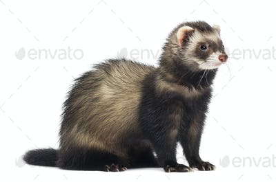 Ferret sitting and looking right, isolated on white