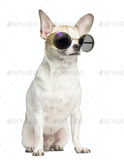 Chihuahua (2 years old) sitting and wearing sunglasses, isolated on white