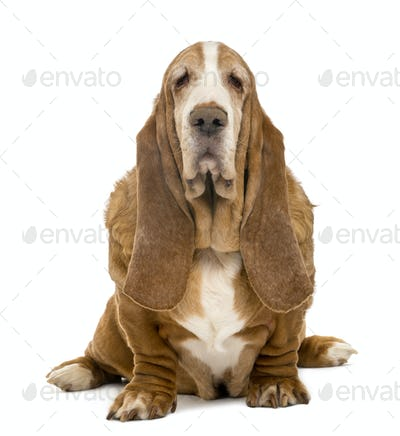 Old Basset Hound sitting and looking at the camera, isolated on white