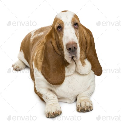 High view of a Basset Hound looking at the camera , isolated on white
