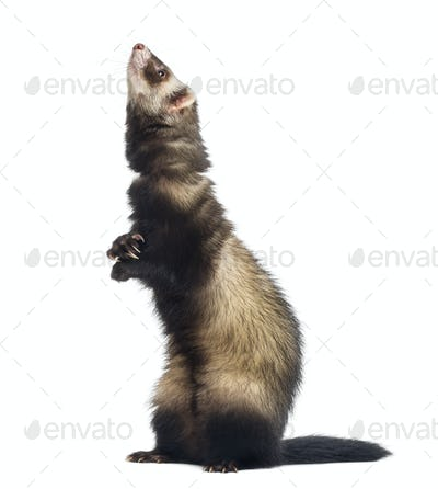 Ferret standing on hind legs and looking up in front of white background