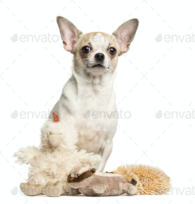 Chihuahua (2 years old) sitting behind stuffed toys, isolated on white