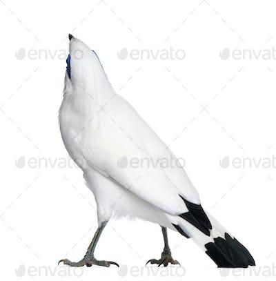 Rothschild's Swift - Cypseloides rothschildi - isolated on white