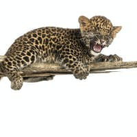 Spotted Leopard cub roaring, lonely on a branch, 7 weeks old, isolated on white