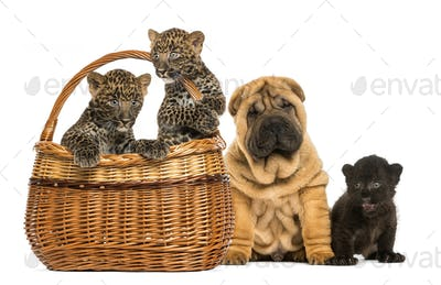 Sharpei puppy with Black Leopard cub and Spotted Leopards cubs in a wicker basket, isolated on white