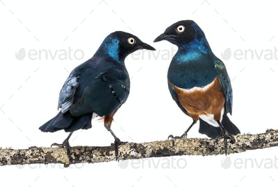 two Superbs Starling on a branch - Lamprotornis superbus - isolated on white