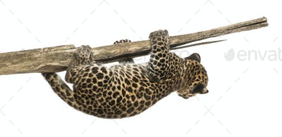Spotted Leopard cub hanging on to a branch, 7 weeks old, isolated on white