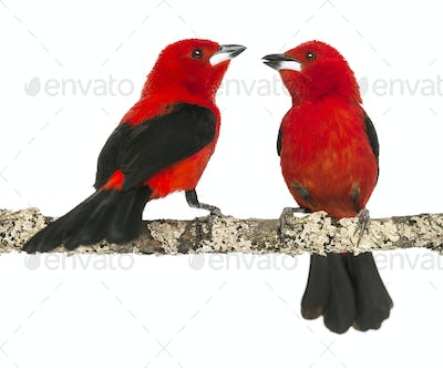 two Brazilian Tanager perched on a branch - Ramphocelus bresilius - isolated on white