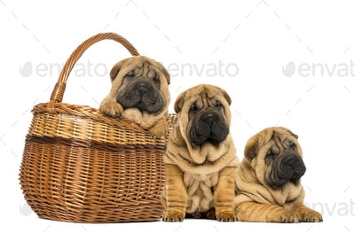 Three Sharpei puppies, sitting, lying and put in a wicker basket, isolated on white
