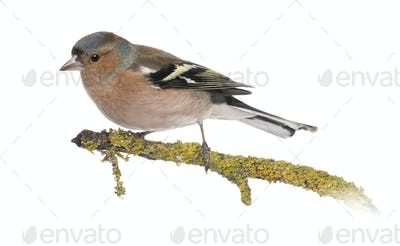 Male Common Chaffinch on a branch- Fringilla coelebs