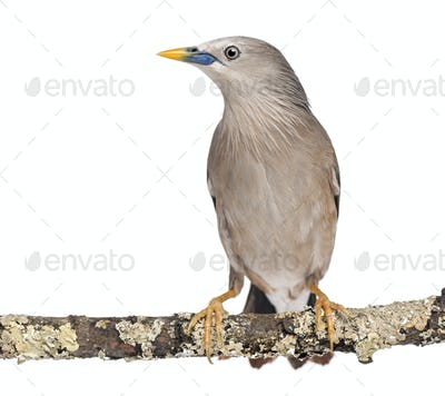 Chestnut-tailed Starling perched on a branch - Sturnia malabarica