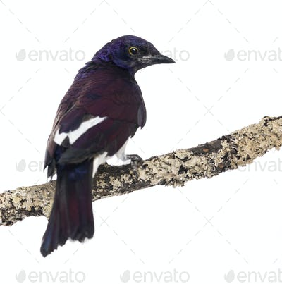Male Violet-backed Starling on a branch - Cinnyricinclus leucogaster - isolated on white