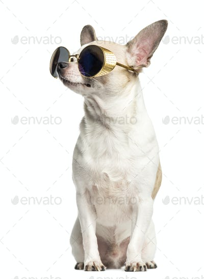 Chihuahua (2 years old) sitting, wearing sunglasses and looking up, isolated on white