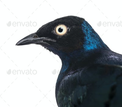 Close-up of a Superb Starling - Lamprotornis superbus - isolated on white