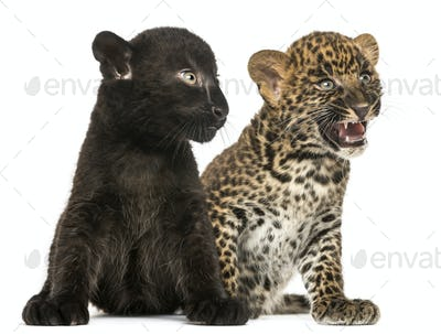 Black and Spotted Leopard cubs sitting next to each other, isolated on white
