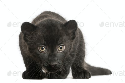 Black Leopard cub, 3 weeks old, staring and prowling, isolated on white