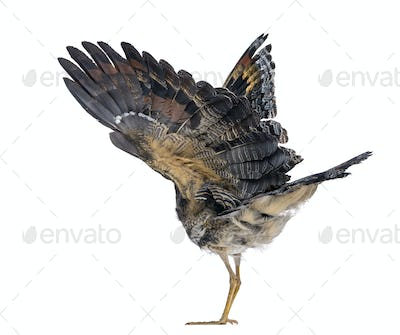 Rear view of a Sunbittern - Eurypyga helias - Isolated on White
