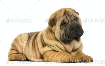 Shar pei puppy lying down (11 weeks old) isolated on white
