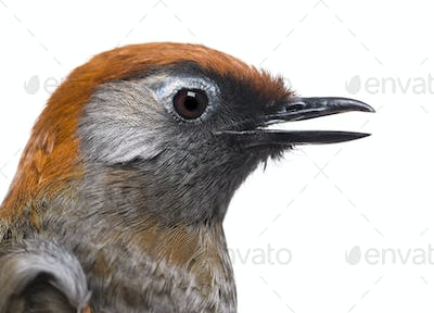 Close-up of a Red-tailed Laughingthrush, side view - Garrulax milnei, isolated on white