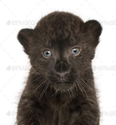 Close-up of a Black Leopard cub, 3 weeks old, isolated on white