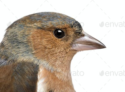 Close-up of a Male Common Chaffinch - Fringilla coelebs