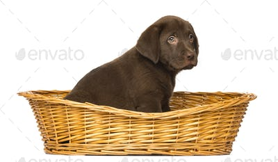 Labrador Retriever Puppy sitting in a wicker basket, 2 months old, isolated on white