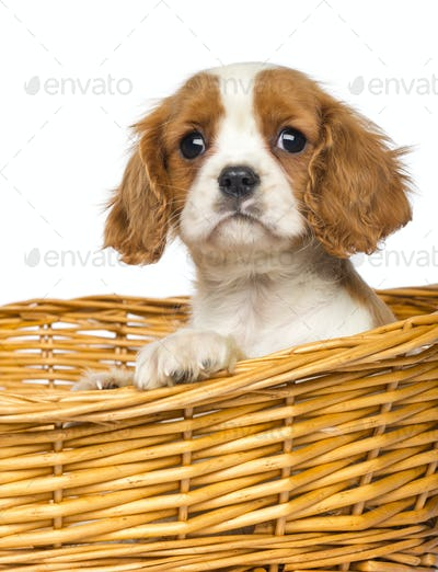 Close-up of a Cavalier King Charles Puppy, 2 months old, in wicker basket, isolated on white