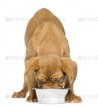 Dogue de Bordeaux Puppy facing and eating from a metallic dog bowl, 4 months old, isolated on white