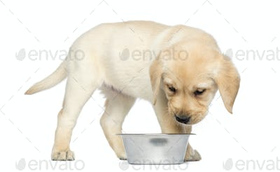 Labrador Retriever Puppy standing and looking into his dog bowl, 2 months old, isolated on white