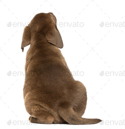 Back view of a Labrador Retriever Puppy looking up, 2 months old, isolated on white