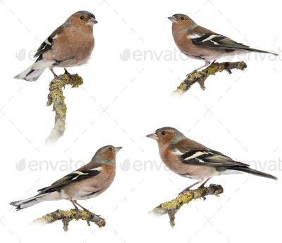 Four Males Common Chaffinch - Fringilla coelebs on a branch, isolated on white
