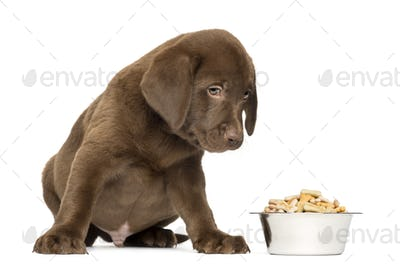 Labrador Retriever Puppy sitting with full dog bowl, 2 months old, isolated on white