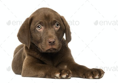 Labrador Retriever Puppy lying down, 2 months old, isolated on white