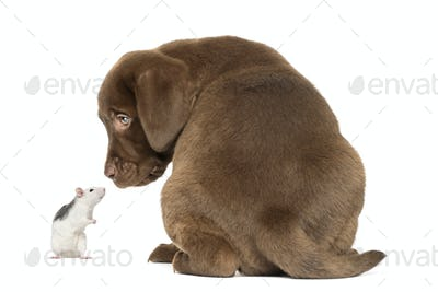 Back view of a Labrador Retriever Puppy and husky rat looking at each other, isolated on white