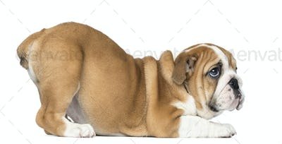 English Bulldog Puppy bottom up looking up, 2 months old, isolated on white