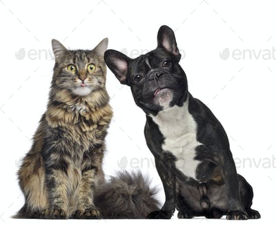 Maine coon and French Bulldog sitting next to each other, isolated on white
