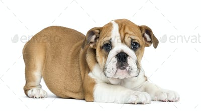 English Bulldog Puppy lying and facing, 2 months old, isolated on white