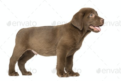 Labrador Retriever Puppy standing and Panting , 2 months old, isolated on white