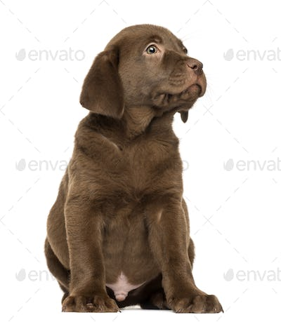 Labrador Retriever Puppy sitting and looking up, 2 months old, isolated on white