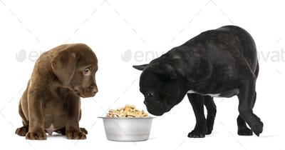 Labrador Retriever Puppy sitting and French Bulldog looking at a full metallic dog bowl